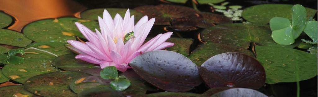 Manoseの蓮カエル